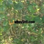 FOR SALE LEMON PLANT