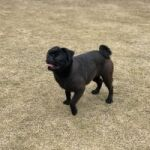 Urgent Sale Black Pug Couple Non Pitigrei