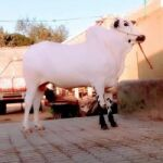 Bull for Sale in Taxila.