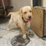 LABRADOR FEMALE FOR SALE