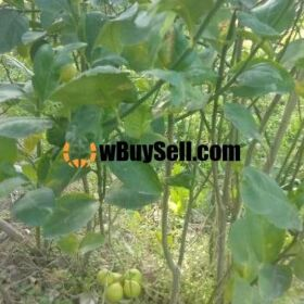 FOR SALE LEMON PLANT