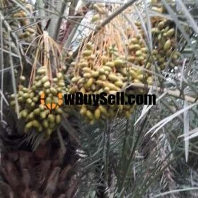 FOR SALE DHAKKI DATES PLANTATION