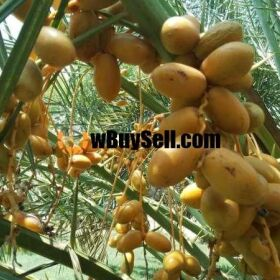DATE TREES FOR SALE