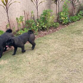 Urgent Sale Black Pug Couple Non Pitigrei